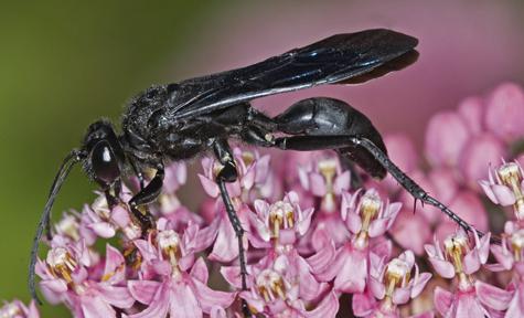 6011686 Sphecid wasp - Sphex pensylvanicus