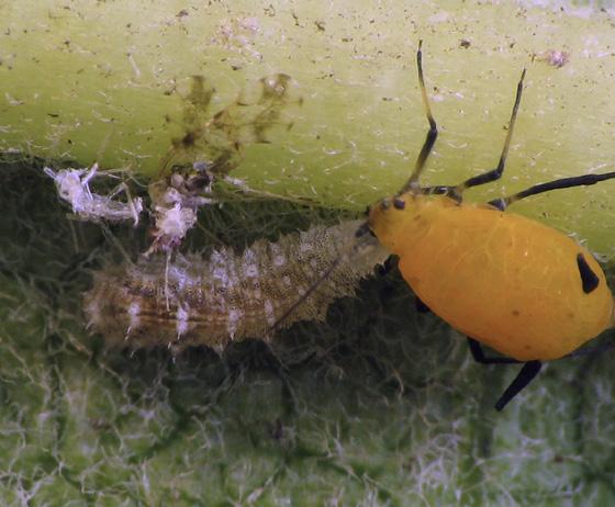 Aphid eater on milkweed. Early instar larva - Eupeodes americanus