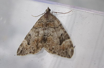 unknown moth - Dysstroma