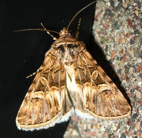 moth - Sympistis sanina