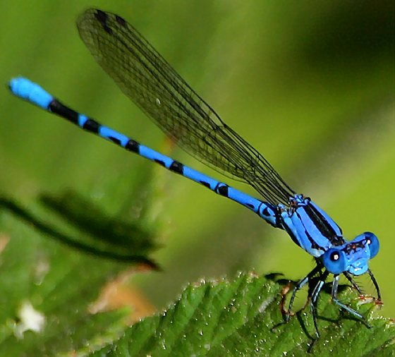 Bright Blue Damselfly, Campbell, California - Argia vivida - male