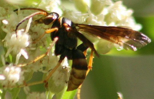 unknown wasp - Poecilopompilus