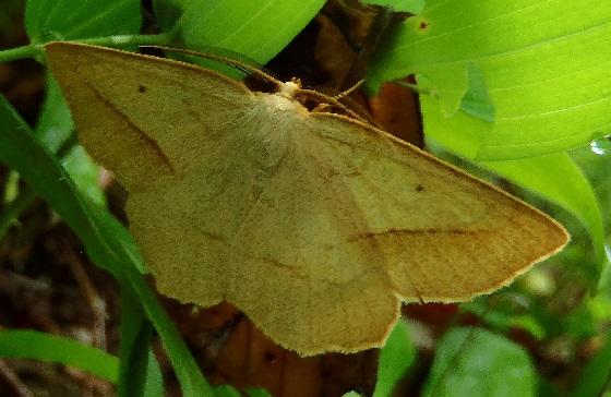 Euchlaena irraria (Least-Marked Euchlaena) - Euchlaena irraria - male
