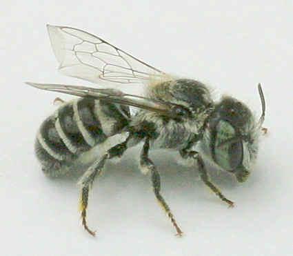 Bee - Ashmeadiella - female
