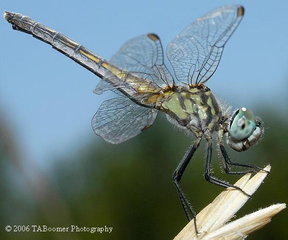Blue Dasher - Pachydiplax longipennis - female