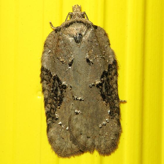 Cold Weather Moth - Acleris chalybeana