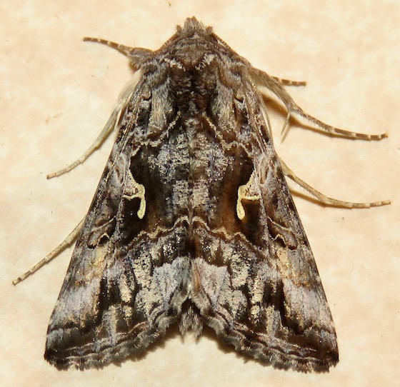 Alfalfa Looper Moth - Hodges#8914 - Autographa californica