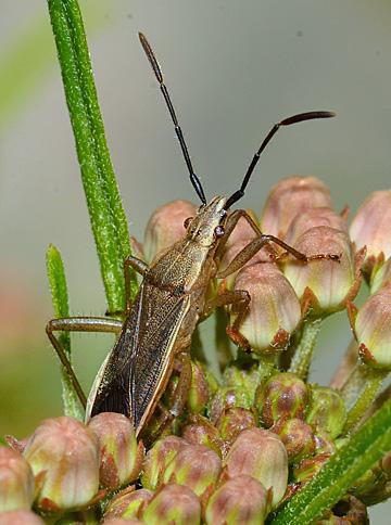 alydid on milkweed - Darmistus
