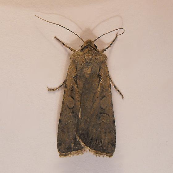 noctuid - Euxoa trifasciata