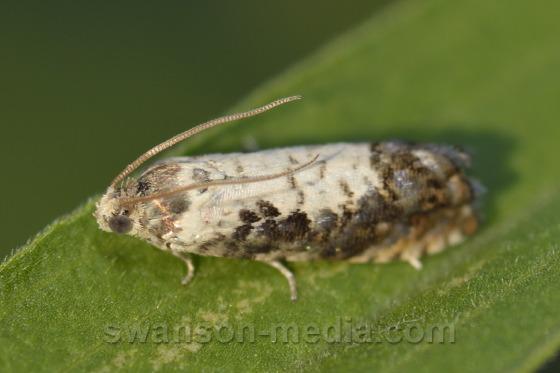 Tortricid Moth - Pammene felicitana