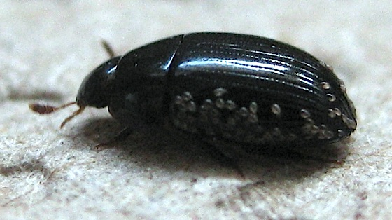 Beetle with brown