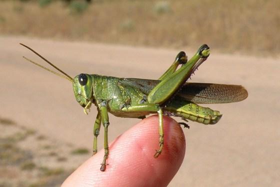 Bird Grasshopper - Schistocerca lineata - male