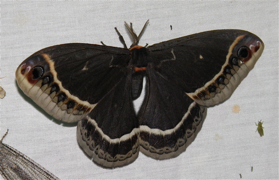 Giant Silkworm Moth - Eupackardia calleta
