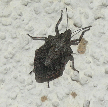Dark Gray Shield Bug - Brochymena sulcata