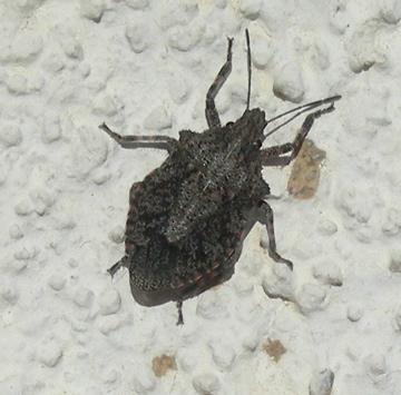 Dark Gray Shield Bug - Brochymena sulcata