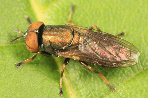 syrphid fly - Orthonevra pulchella - male