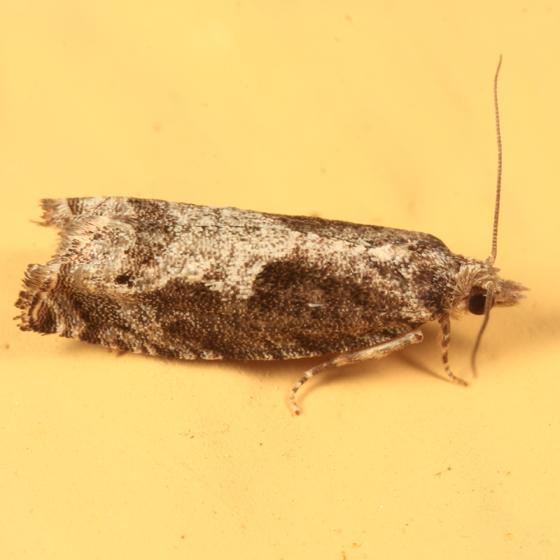 Oak Trumpet Skeletonizer Moth - Catastega timidella