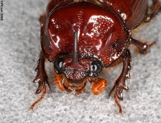 Earth-boring Dung Beetle - Odonteus liebecki - male