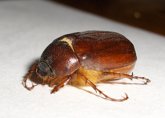 May Beetle or June Bug? - Phyllophaga