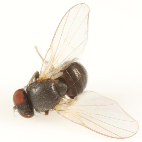 Agromyza albitarsis - male