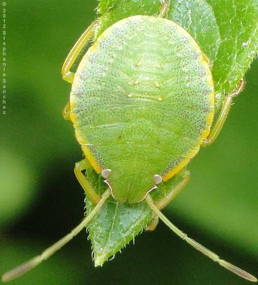 green nymph - Loxa