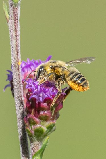 Bee at blazing-star - Megachile latimanus