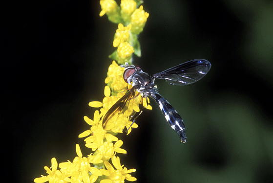 Flower Fly - Pelecinobaccha costata - female