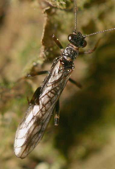 Stonefly - Paranemoura
