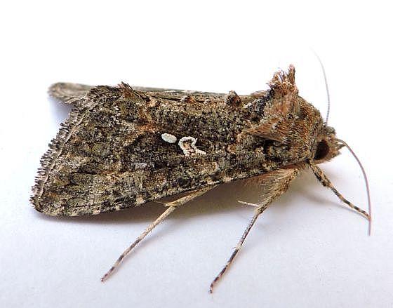 Arizona Moth - Trichoplusia ni