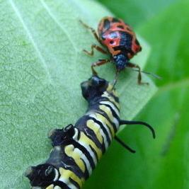Anchor Stink Bug feeding on Monarch caterpillar - Stiretrus anchorago