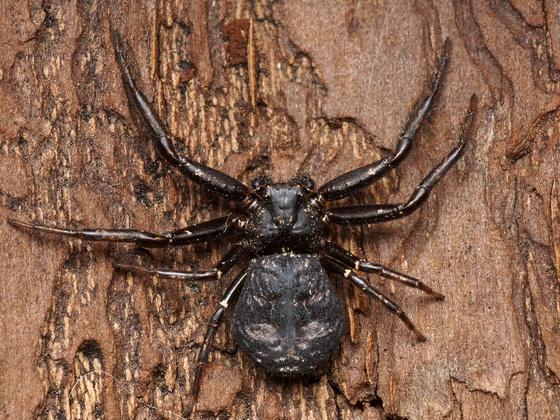 Crab spider - Coriarachne brunneipes - female