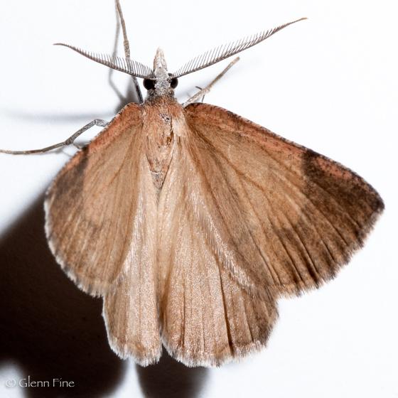 Bordered Fawn - Sericosema juturnaria - male