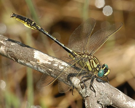 Clearlake Clubtail - Phanogomphus australis - male