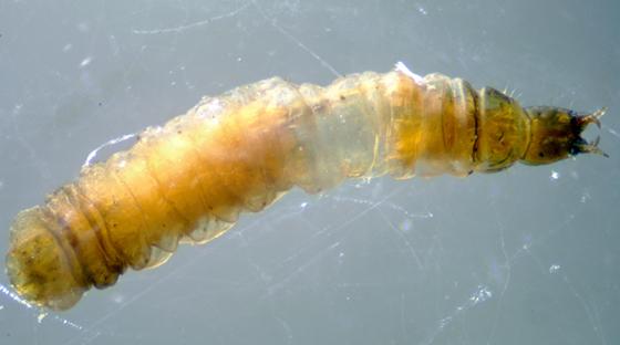 Cercyon of Cryptopleurum larva