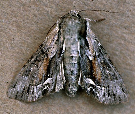 Common Hyppa - Hyppa xylinoides