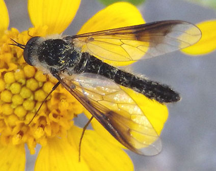 unknown fly - Thevenetimyia speciosa