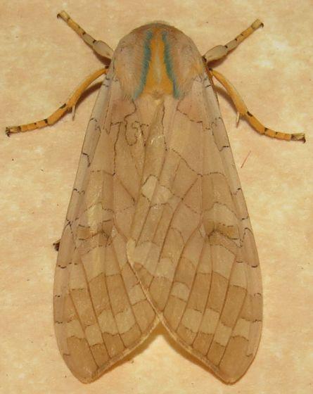 Tussock Moth sp. - Halysidota