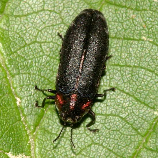 Metallic Wood-boring Beetle - Eupristocerus cogitans - female