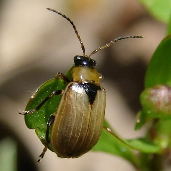 Leaf beetle? - Cerotoma trifurcata