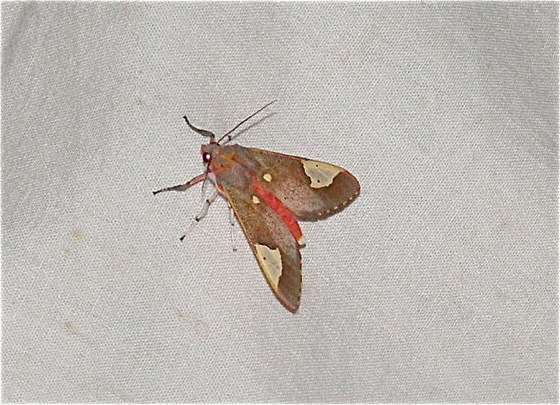 Colorful Moth - Bertholdia trigona