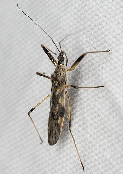 Bug 2475 - Metatropiphorus belfragii