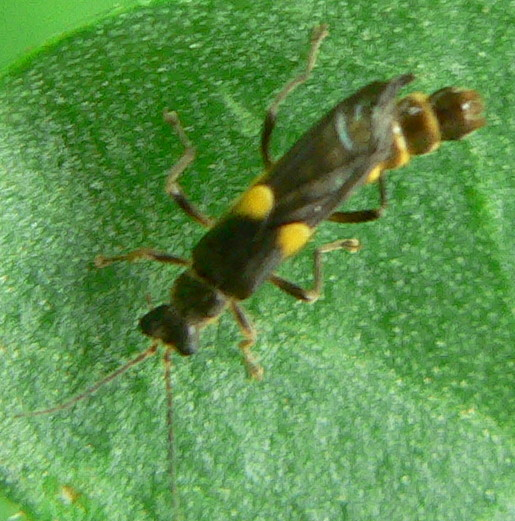 ? Trypherus frisoni or latipennis ?  - Trypherus