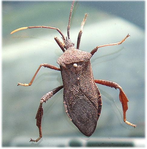 Shield Bug? - Acanthocephala terminalis