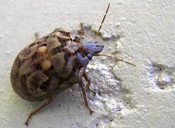 Shieldbacked Bug - Tetyra bipunctata