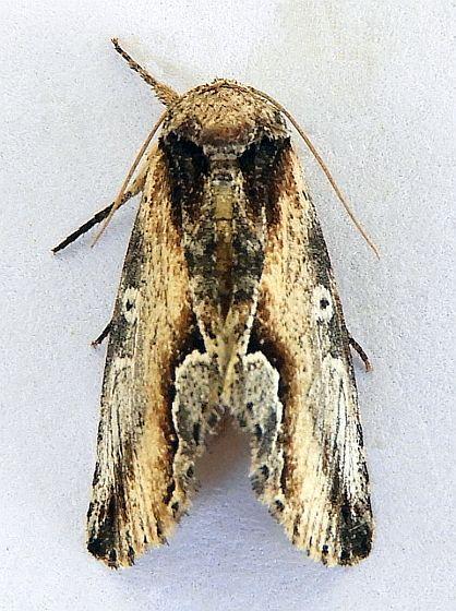 Arizona Moth  - Prothrinax luteomedia