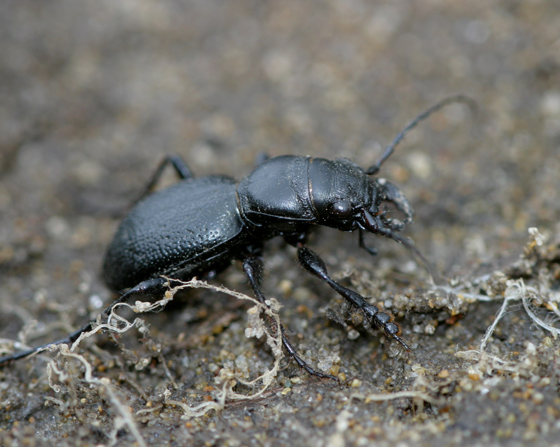 Flightless Tiger Beetle (Omus audouini)? - Omus audouini - male
