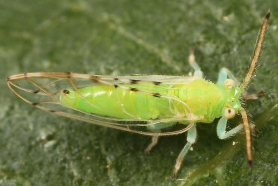 blue-legged bug - Homotoma ficus