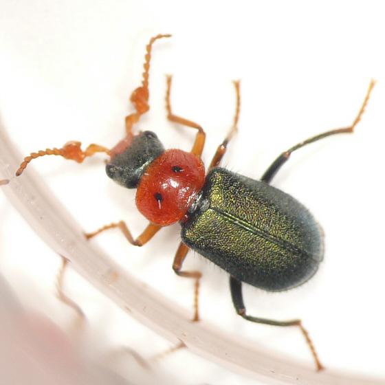Soft-winged flower beetle from Idaho 10.07.05 - Collops bipunctatus - male