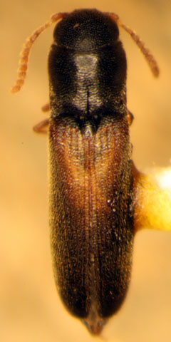 Elaterid? - Isorhipis obliqua - female