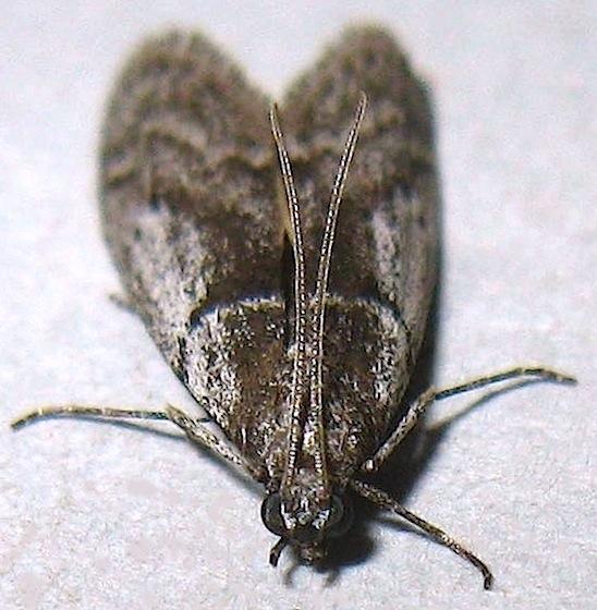 Myelopsis subtetricella